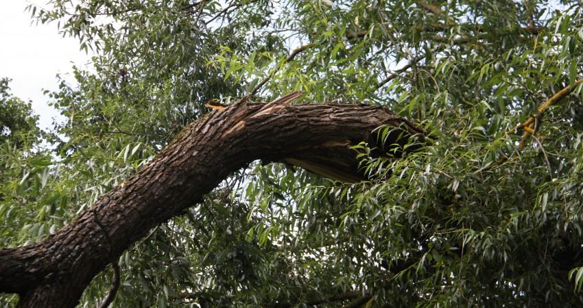 Vētrā aizlūzuša vītola zāģēšana