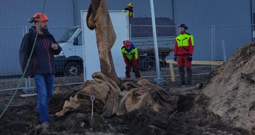 Ozola pārstādīšanas darbi Rīgā